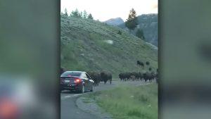 Bison Stampede, Ram Rental Car During Stampede In Yellowstone