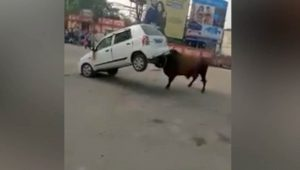 Video Shows Angry Bull Lifting Car In The Air